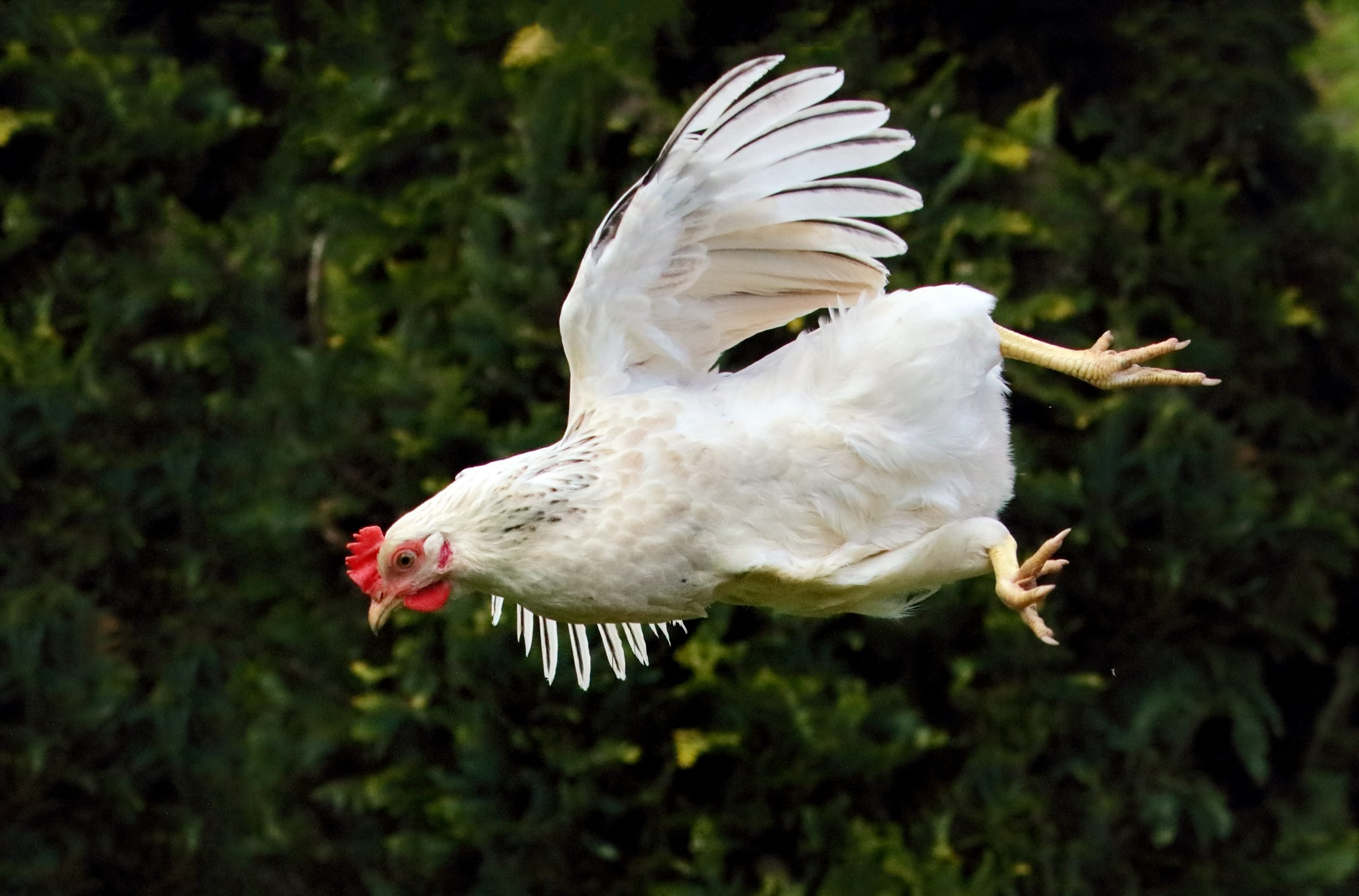 flying chicken prices